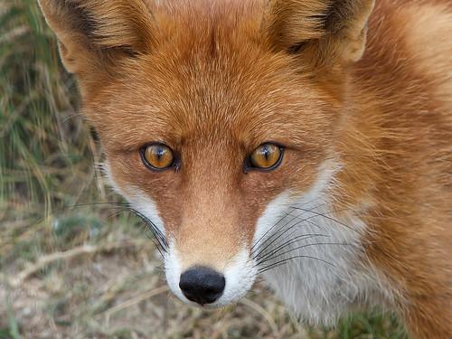 foxy face | by Håkan Jylhä (Thanks for +750.000 views)