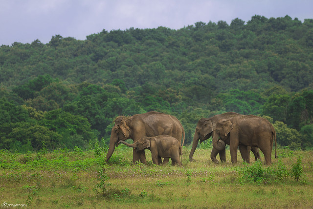 A Herd of Asian Elephants... Kerala- Gods own country , India. How is it ?