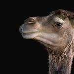 Camel - CLK