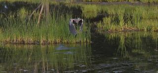 blue heron petrie island 13072015_DSC8045   by David Villeneuve