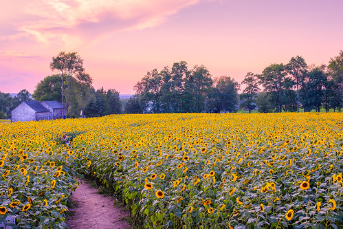 sunflowers sky sunset field path trees griswold ct connecticut nature barn clouds