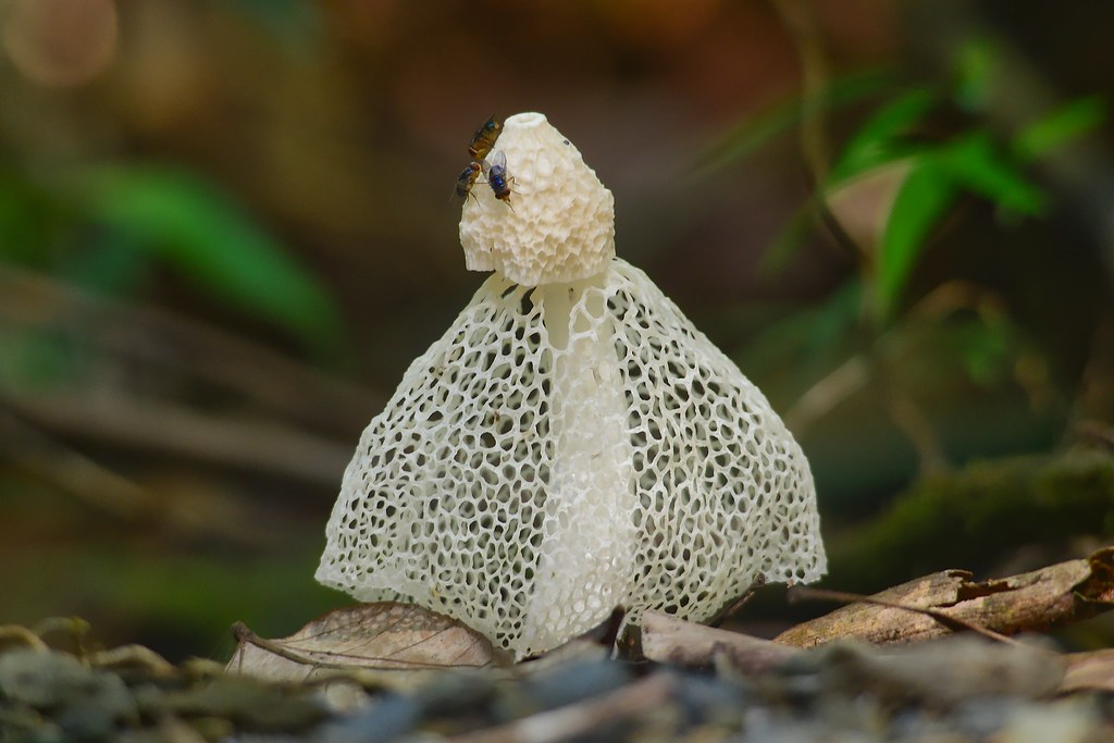 Hawaiian phallus indusiatus