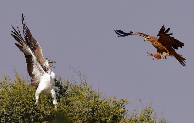 Martial Eagle (Imm) & Tawny Eagle