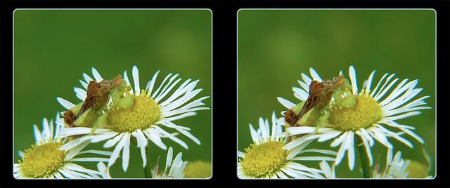 Jagged Ambush Bug on Heath Aster Flower 2 - Crosseye 3D