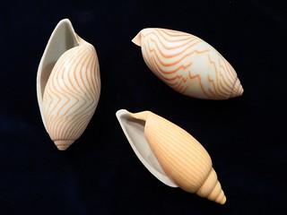 3D printed Amoriæ