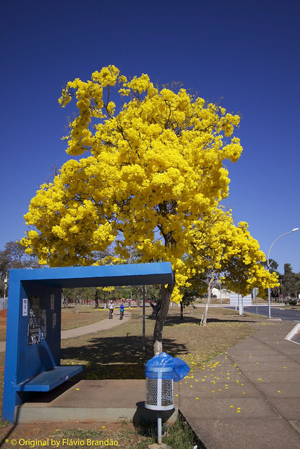 Série com o Ipê-amarelo em Brasília, Brasil - Series with the Trumpet tree, Golden Trumpet Tree, Pau D'arco or Tabebuia in Brasília, Brazil - 20-08-2017 – IMG_7176_2