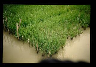 Gudha Enp Farm Of Cssri, India = 土壌塩類研究所の現地試験圃