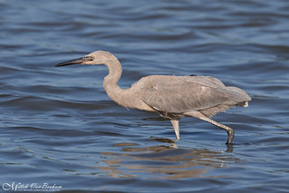 Reddish Egret (Juvenile) | by Mitch Vanbeekum Photography