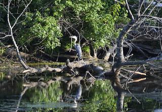 Blue Heron petrie Island 28072015_DSC0028   by David Villeneuve