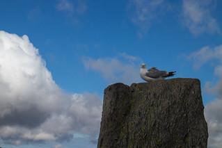 A gull gets the freedom of Tryfan   by johnkaysleftleg