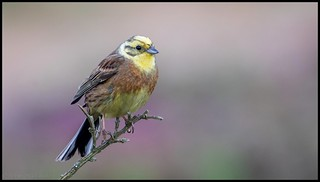 Bruant jaune / Yellowhammer | by denismichaluszko