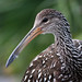 Limpkin - Photo (c) Amy Evenstad, some rights reserved (CC BY-NC-SA)
