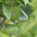 first fall female Cerulean warbler
