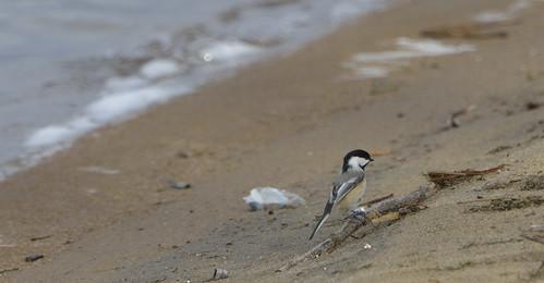 chickadee petrie island 12122015_DSC3895 | by David Villeneuve