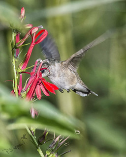 cardinal flower 8-8-17_065 | by pmsswim
