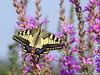 Borboleta-cauda-de-andorinha (Papilio machaon) by CarlaPalricas