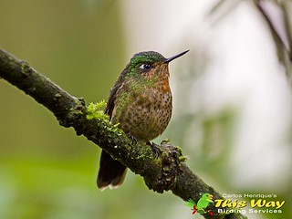 Tyrian Metaltail - Female | by This Way - Birding Services