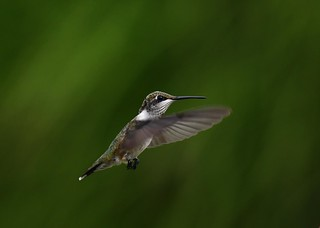 Juvenile Male Ruby-throated hummingbird.
