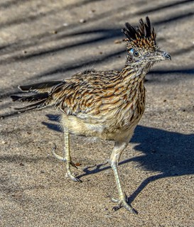 Roadrunner | by ☼☼ It Hit 87'F Here Today!!!☼☼