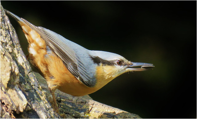Nuthatch with a Sunflower seed