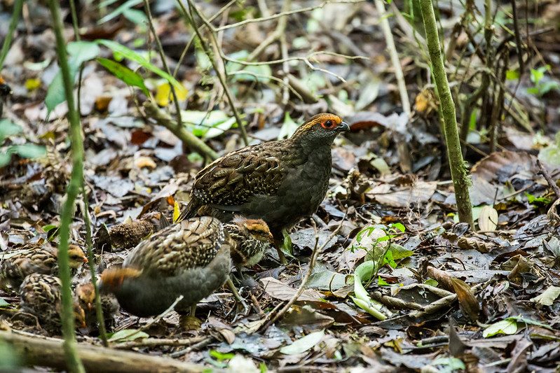Spot-winged Wood-Quail