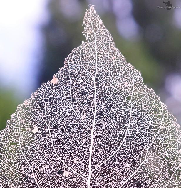 leaf skeleton(4)