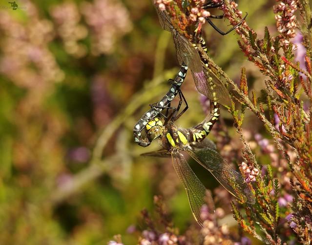 Dragonflys mating longshaw peak district 2017 (7)