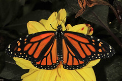 Monarch - Photo (c) Judy Gallagher, some rights reserved (CC BY)