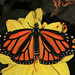 Mariposa Monarca Migratoria - Photo (c) Judy Gallagher, algunos derechos reservados (CC BY)