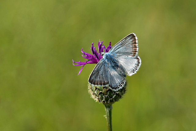 Male Chalkhill Blue Butterfly