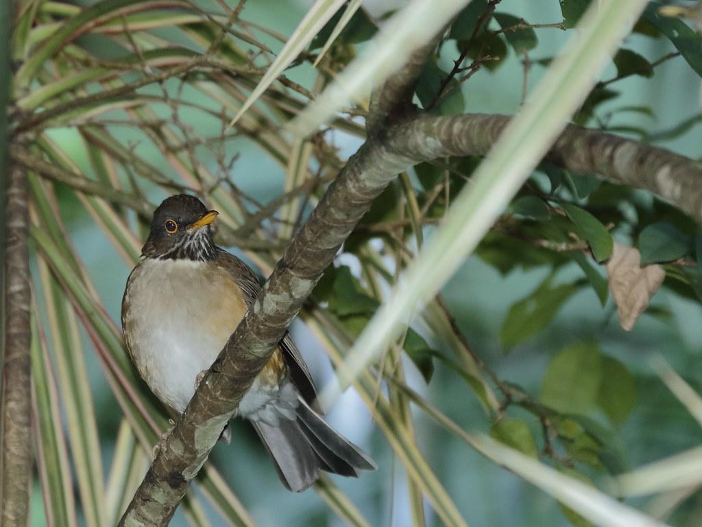 Sabiá-coleira / White-necked Thrush - Turdus albicollis (Vieillot, 1818)
