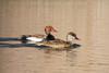 Red-crested pochard (Netta rufina) Krooneend by Ron Winkler nature