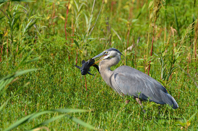 Great Blue Heron with Catfish along Lust Road