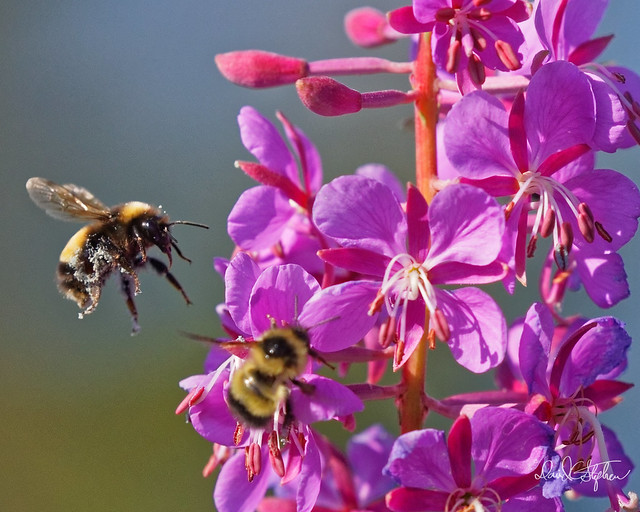 Bumblebees On Wildflowers