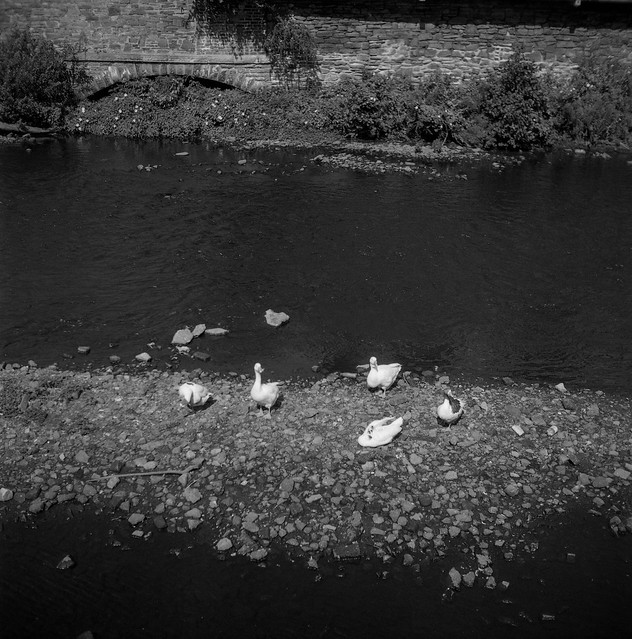 FILM - Slightly soft ducks