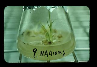 サトウキビおよびパイナップルの育種における組織培養法の利用
