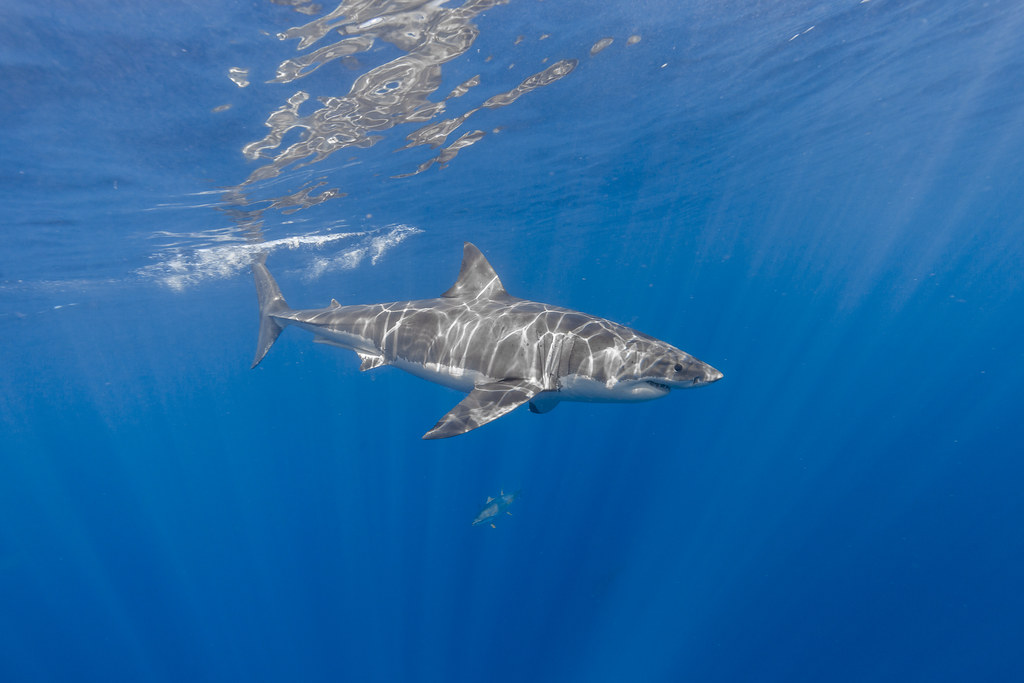Introducing Mickey the great white shark