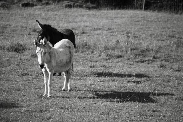 Les 2 ânes