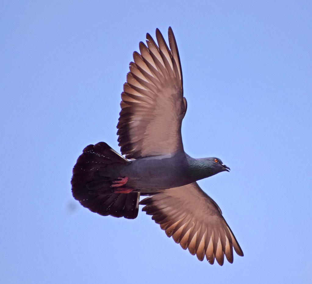 The rock dove or rock pigeon, is a member of the bird fami