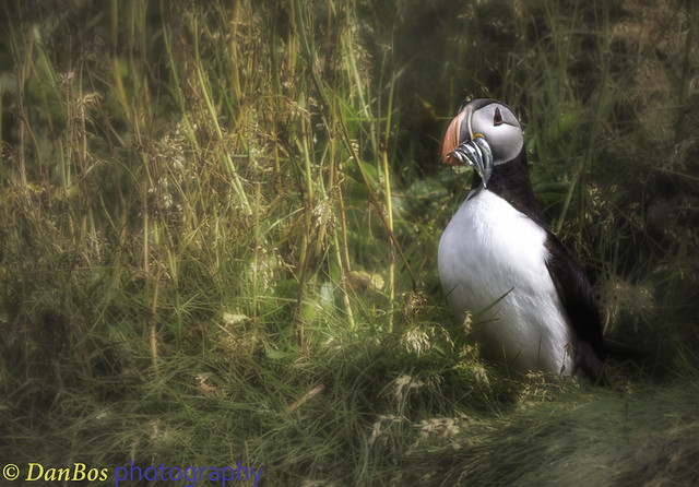 Puffin & Fishes