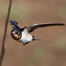 Golondrina Tijereta - Photo (c) Derek Keats, algunos derechos reservados (CC BY)