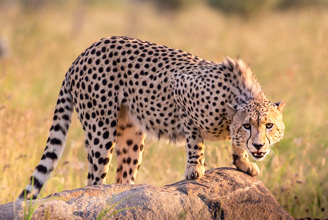 Cheetah, Pilanesberg Nationalpark