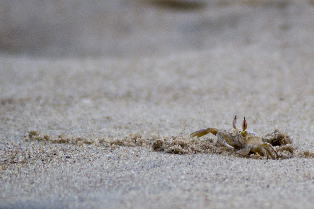 A crab comes out of it's abode in the sea sands near the Bay of Bengal