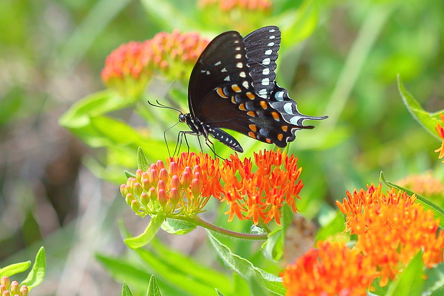 Black Swallowtail on Butterfly Weed #6