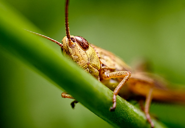 Portrait of a cricket