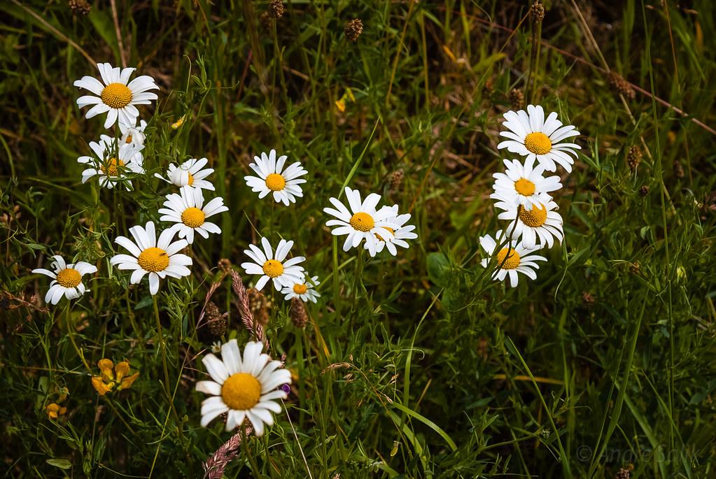 Fine daisies. 16:54:27 DSC_8637
