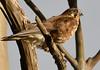 Nankeen Kestrel by Free_aza_Bird