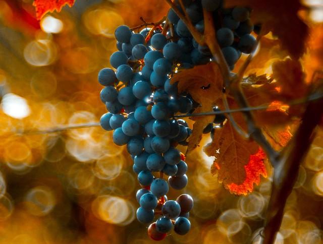 Autumn at Denbies vineyard