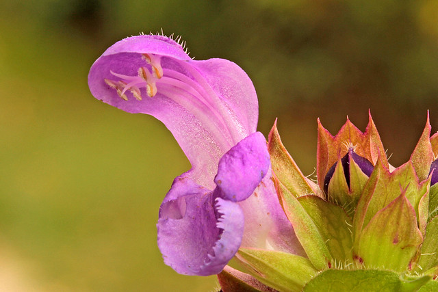 Prunella grandiflora (Lamiaceae) 261 17
