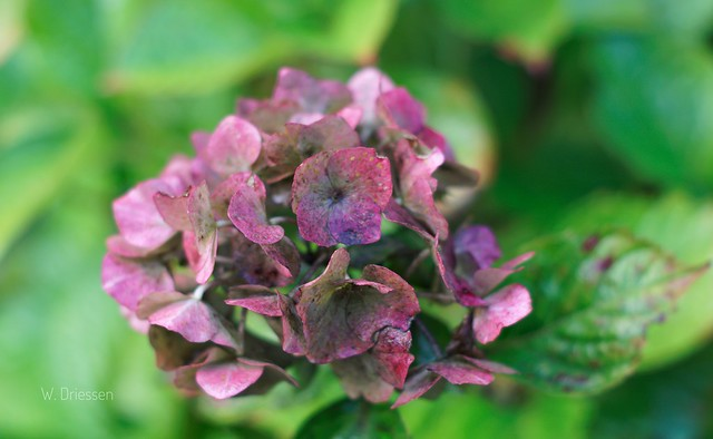 Hortensia. Made with My new camera Sony A77ii